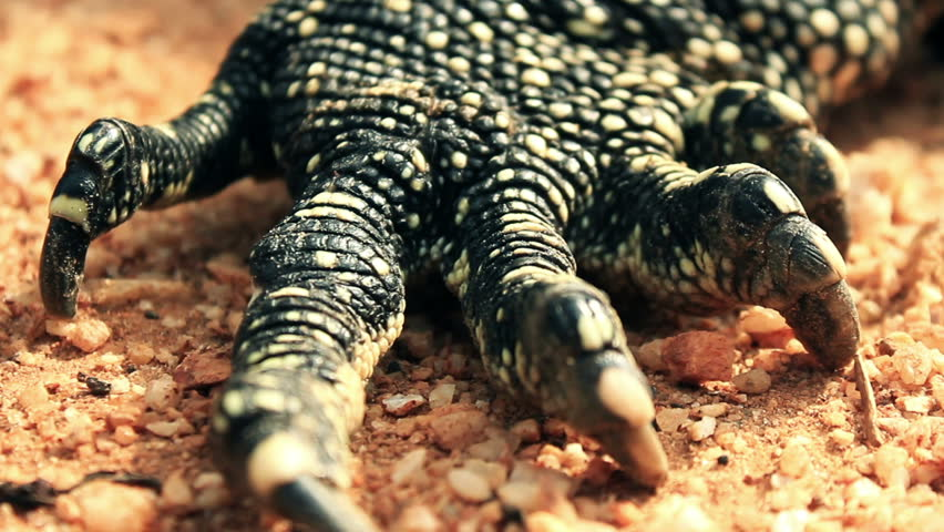 Close-up of the paw paw removes monitor lizard in the frame terribly