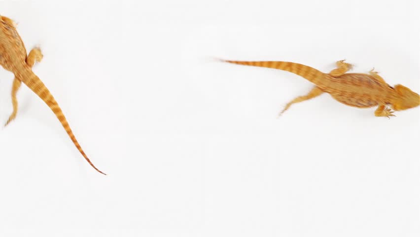 Lizard (agama ) running over white, funny traffic concept background