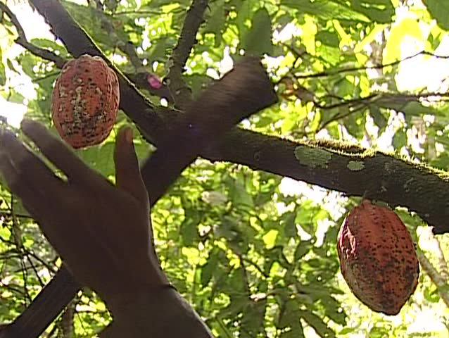 Pygmy tribe in Africa working harvesting cocoa, Cacao fruits on the tree