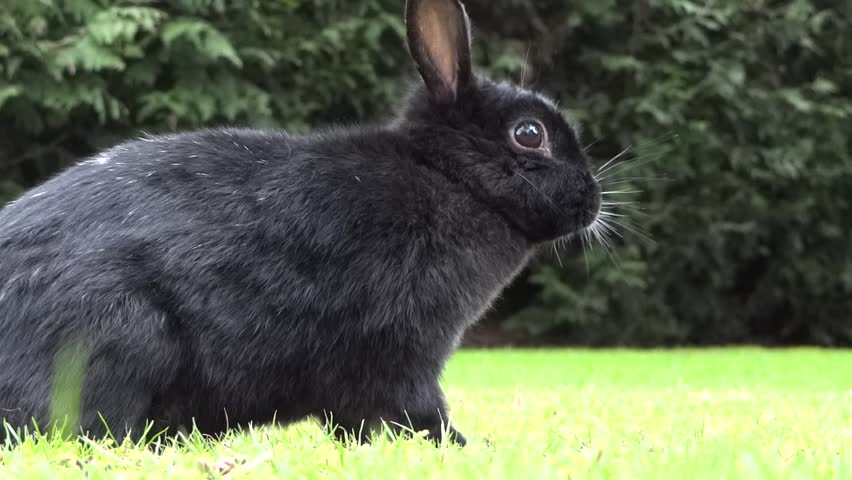 Funny Bunny Rabbit Black Stock Footage Video 100 Royalty Free