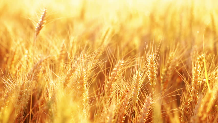 HD 1080 dynamic: Wheat ears on the field under sun light;