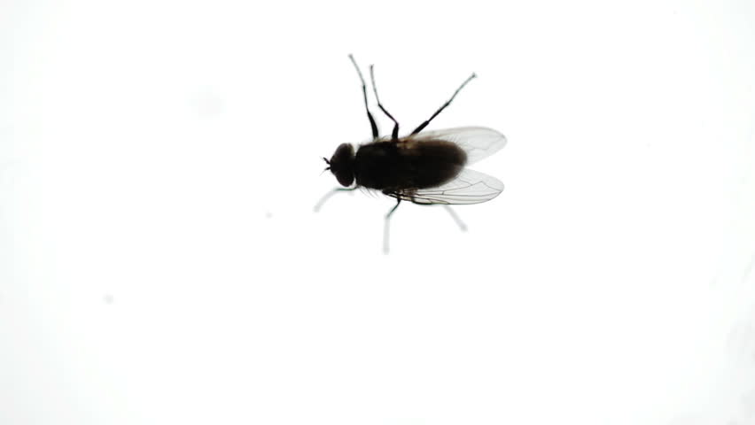 Nasty Housefly Indoor on a Window Pane