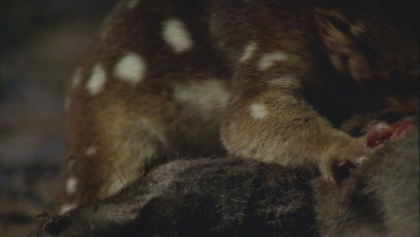 shakes head, Quoll's body as it feeds on wallaby carcass
