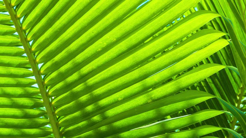 Video 1920x1080 - palm leaves close-up. Tropical abstract background #5752163
