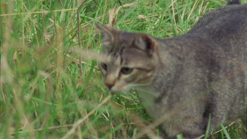 Feral cat meowing