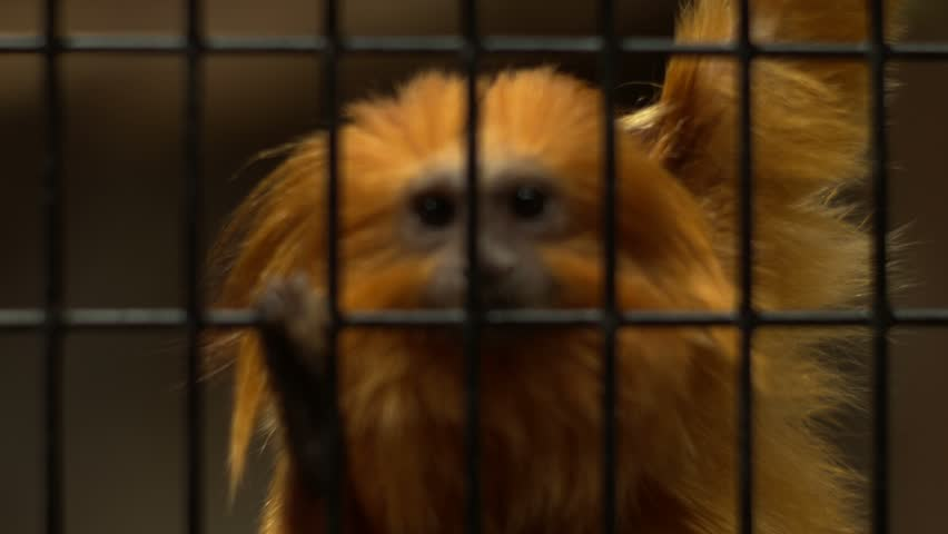 A shot of a little cute golden lion tamarin in a cage at a zoo. | Shutterstock HD Video #5867909