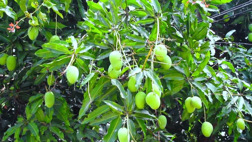 Thai Mango Fruit In Tree, Stock Footage Video (100