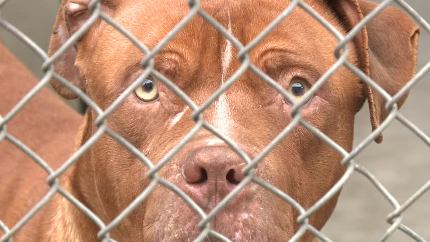 PITBULL PIT BULL DOG PUPPY SAD IN ANIMAL SHELTER HOMELESS BEHIND CHAIN FENCE AT POUND RESCUE FACILITY HD HIGH DEFINITION STOCK VIDEO FOOTAGE CLIP 1080 ...