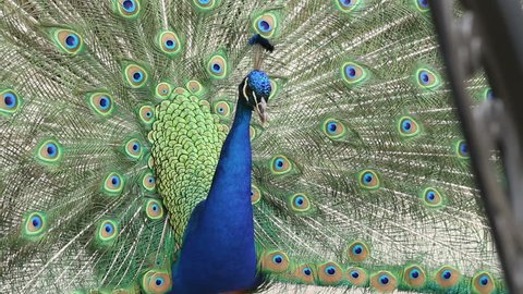 Male Peacock rattles his plumage during courtship
