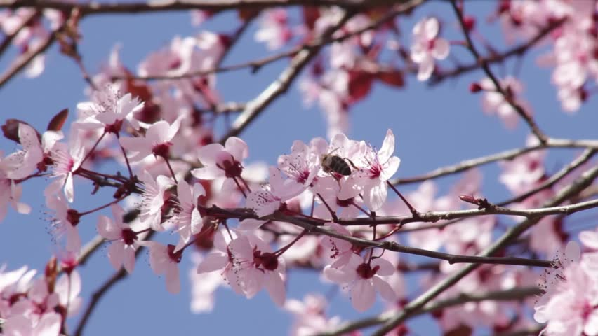 Beautiful Blossomed Tree Branches With Pink Flowers Wind Ing Sunny Day Spring