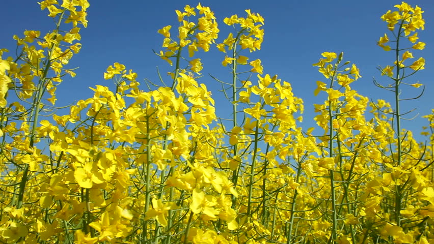 Track Along Yellow Oil Seed Rape Crop Flowers Ing In The Wind Northamptonshire England Uk