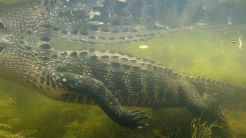 An amazing shot of an alligator swimming underwater.