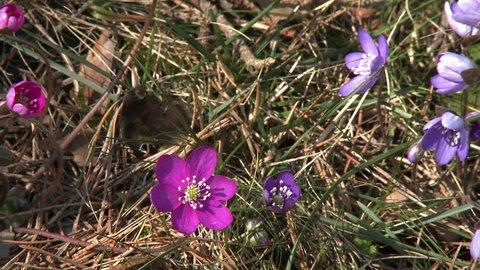 Flowering Liverwort, Hepatica nobilis during spring in Sweden