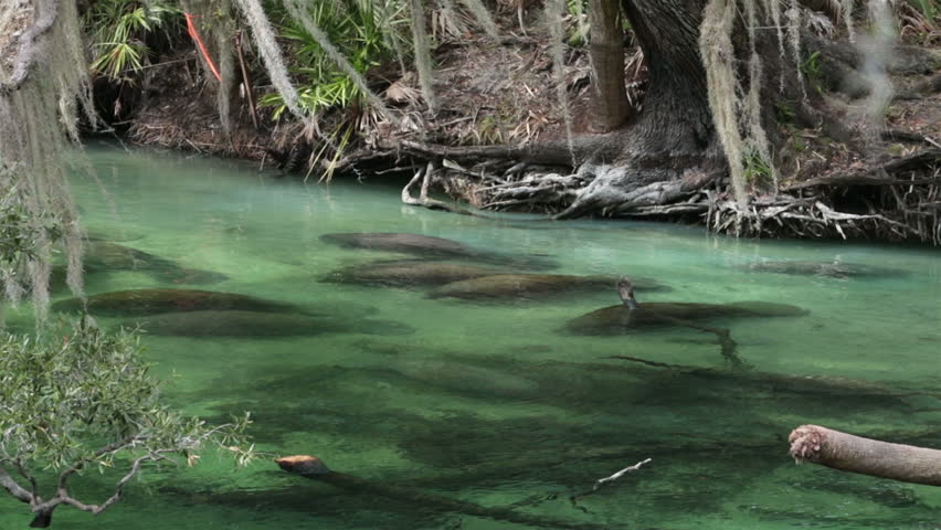 Manatee resting on river bottom southern Florida. Blue Spring State Park is near Orange City, Florida. The park is a popular tourist destination to view West Indian manatee migration in the winter. | Shutterstock HD Video #6128189