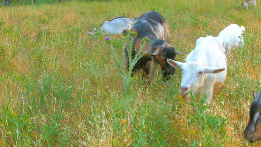 HD goats on pasture, Canon XH A1, FullHD video, 1080p, 25fps, progressive scan