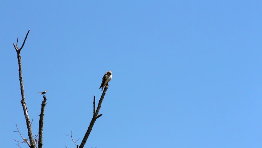 A small mocking bird attacks a much larger red tail hawk perched on a dead tree
