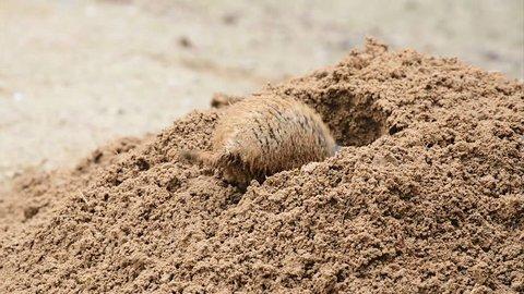 American prairie dog digging a burrow.