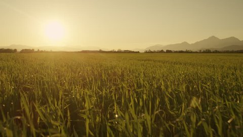 AERIAL: Rising up from wheat field towards the sun