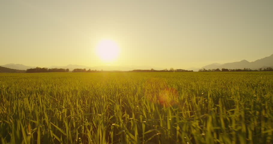 AERIAL: Low flight over wheat field at sunrise