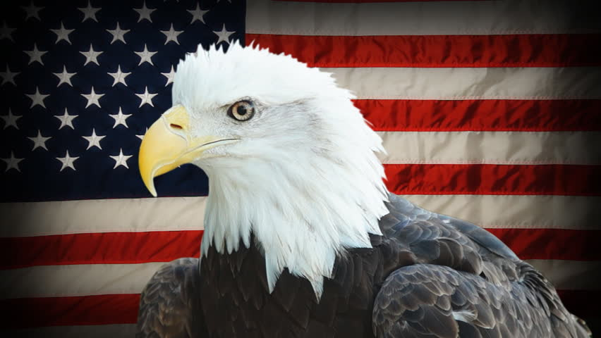 American Bald Eagle (Haliaeetus leucocephalus) is the national bird and national animal of the United States, currently a threatened species, seen in front of  American Flag. #6315029