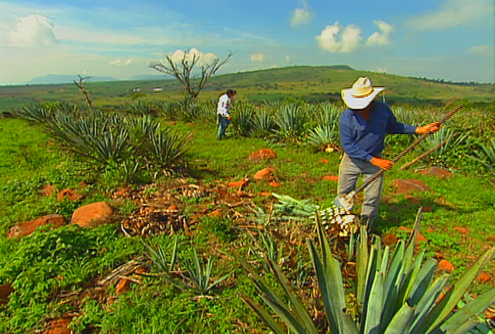 Mexican farmers harvest a blue agave (tequila) field, in Jalisco, Mexico.