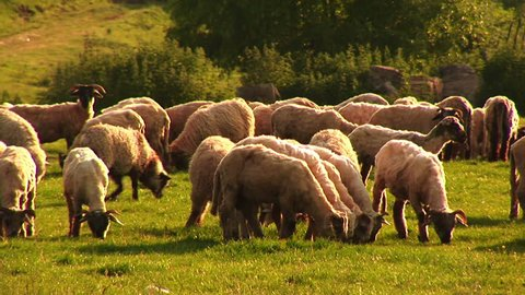 Flock of sheep. Psalm 23.