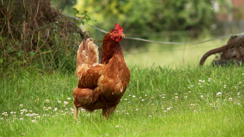 FREE RANGE CHICKEN: A hen roams free on a small country farm.
