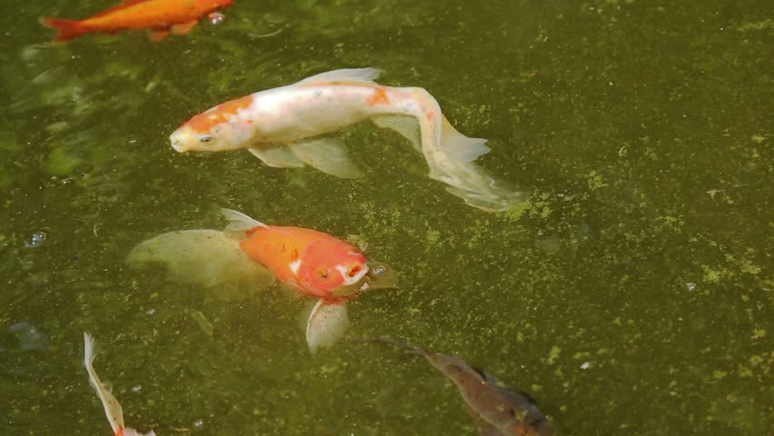 variety ornamental koi carp fishes swim in pond stock