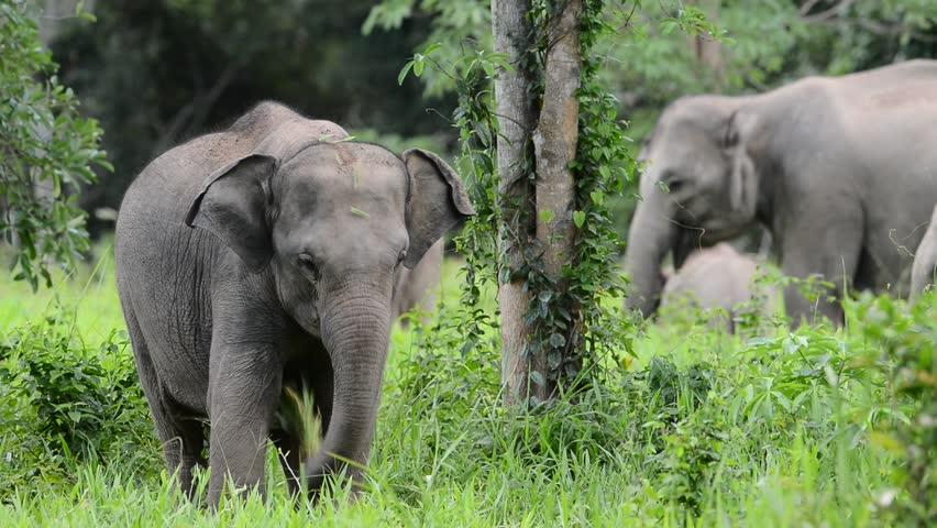 Close up of Asian Elephant