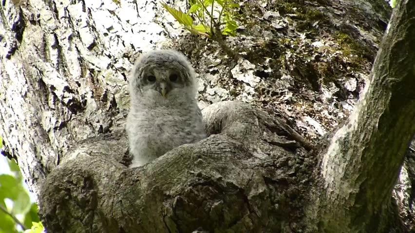 """Owl cute face. -26 / Shooting date; May 29, 2014. Location: """"Shinrinkouen"""" Hokkaido, Japan /  Baby owl bathing in the morning sun.  """"Ezofukurou"""" species name. Owl Japan cute face"""