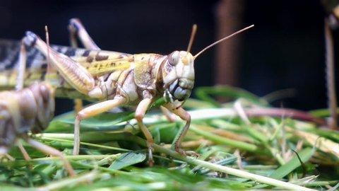 Desert locust feeding on fresh grass.