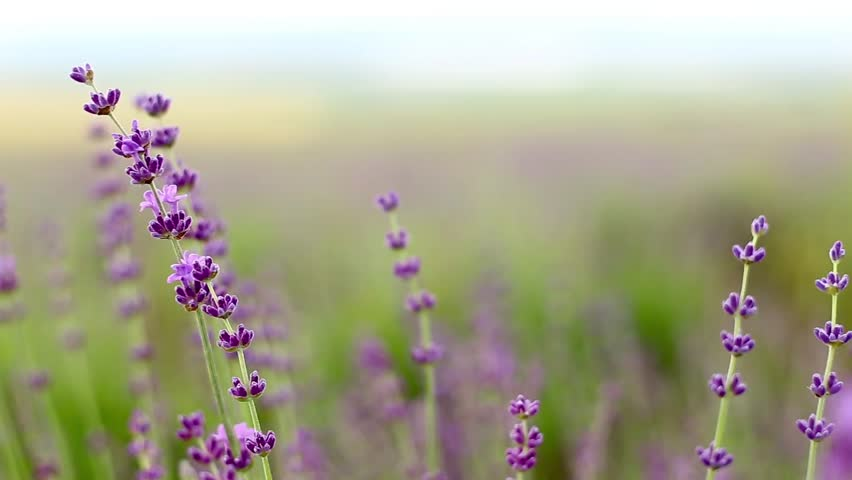 Stock video of lavender flower field, fresh purple ...