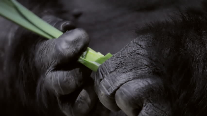 Very strong hands with mighty and calloused fingers of a gorilla male, severe silverback, chief of a monkey family. Human like manipulation of a great ape, the biggest primate of the world.