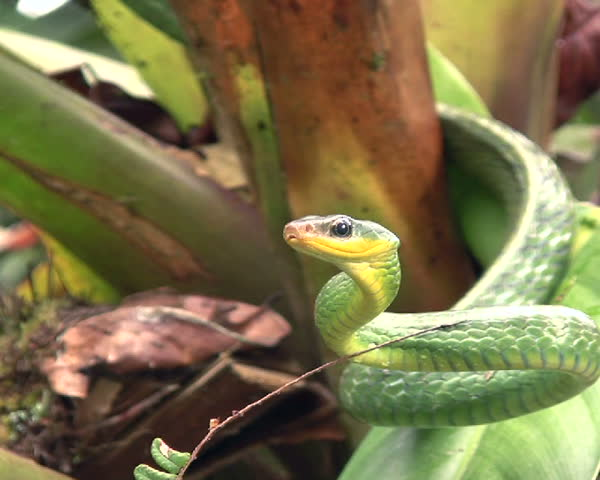 Cloudforest whipsnake (Chironius monticola)