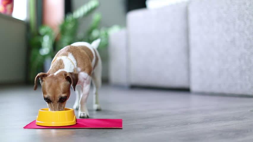 Funny young beautiful dog with an appetite quickly eats wet food in the interior of modern apartment. Standing front to the camera. Shallow depth of field