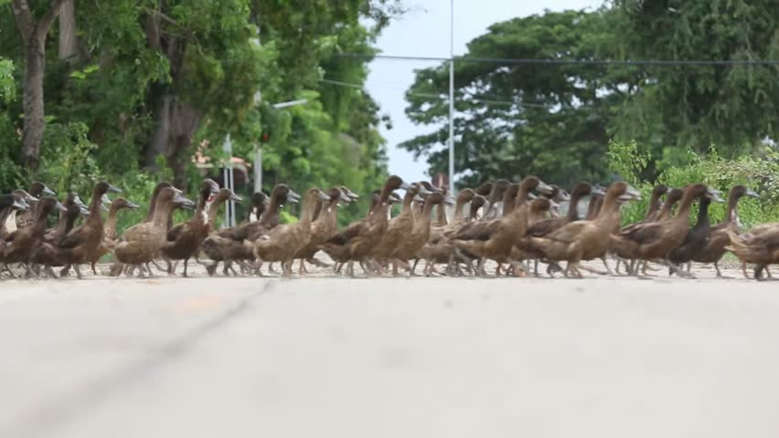 Lots of ducks that live on field rice was crossing the road.