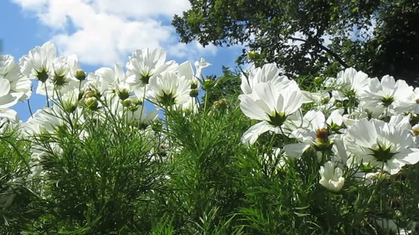 Cosmos flowers. Landscape with beautiful flowers and trees. Video of summer day. | Shutterstock HD Video #6894079