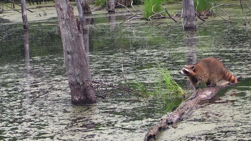 Image result for raccoon in water