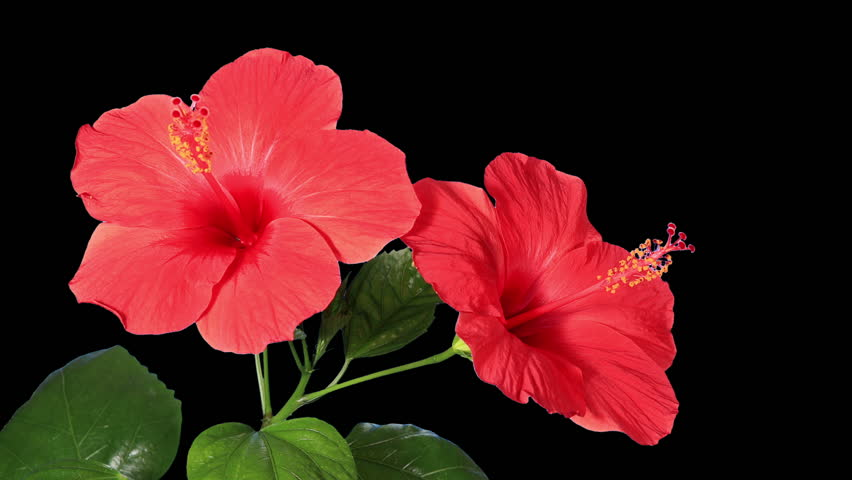 Blooming Red Hibiscus Flower Buds Stock Footage Video 100