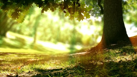 Seamless loop of an Oak tree in golden sunlight in a forest or park. Check out the new version (including 4K): search for file 1028771525. Spring time nature background with copy space.