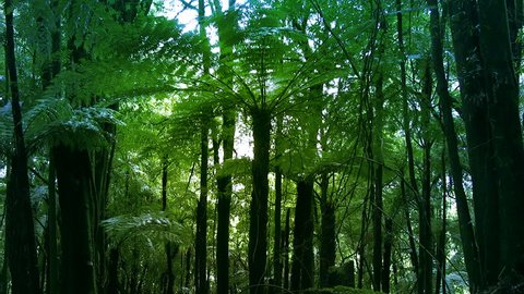 New Zealand native sub-tropical rain-forest with vines and  Silver Tree Ferns (ponga or punga in the Maori language). Wide shot. The Silver Fern is a national symbol of New Zealand.