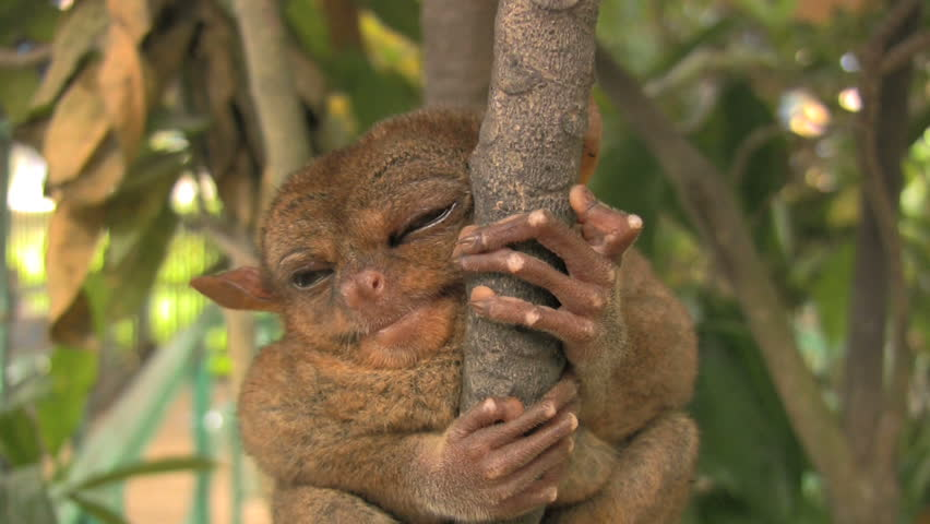 tarsier holding on to a branch in Bohol Philippines