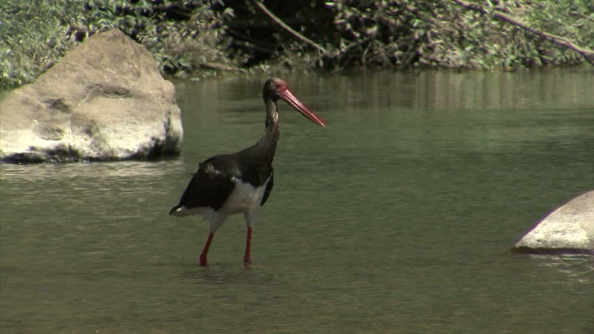 Black stork (ciconia nigra) fishing fish in the mountain river flapping with wings. HD #7044649