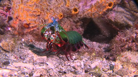 Close up of Peacock Mantis Shrimp leaving a rock cave
