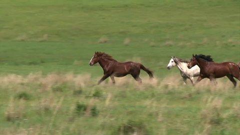 CIRCA 2010s - Wild horses running.