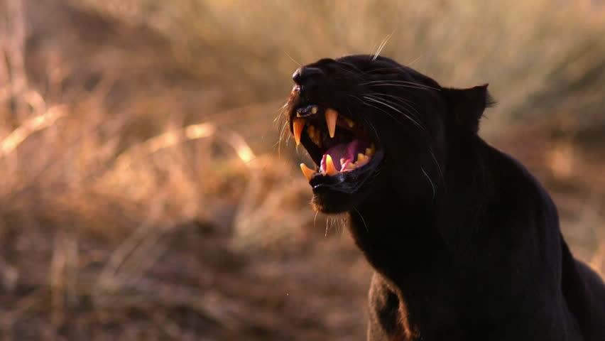 Header of ferociously