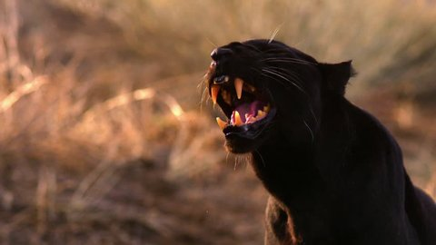 A black leopard, aka panther, growls ferociously.