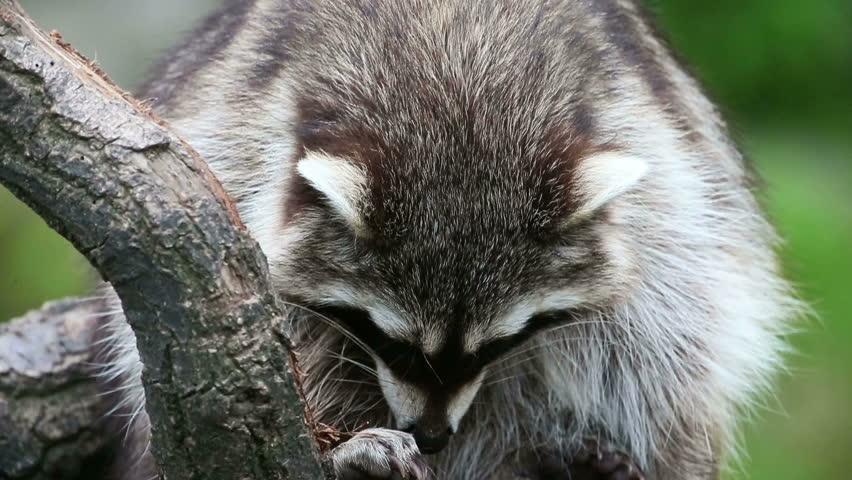 Header of racoon