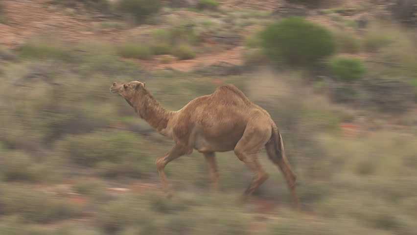 Herd of Australian Feral Camels walking through the dry outback