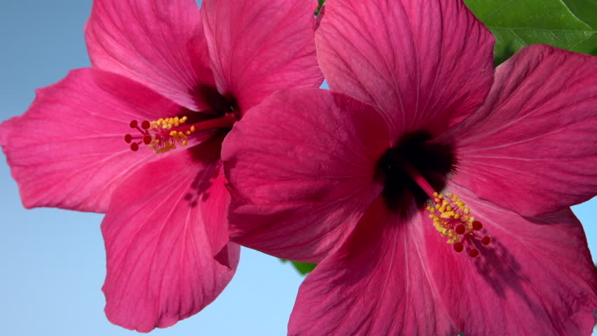 Hibiscus Flower Two Flowers Bloom Stock Footage Video 100 Royalty Free 7202029 Shutterstock